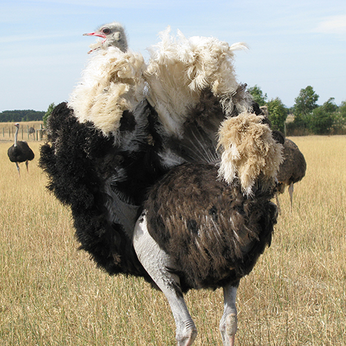 black-neck-ostrich