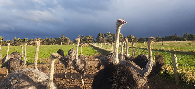 Ostrich Australia