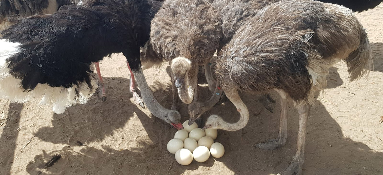 Ostrich Australia Eggs