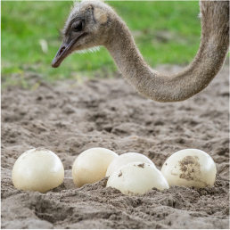 ostrich-livestock