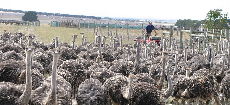 Ostrich Australia Livestock